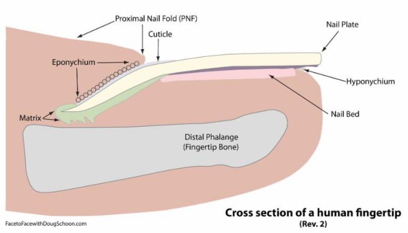 Fingernail Anatomy - Cuticle, Eponychium, PNF Diagram